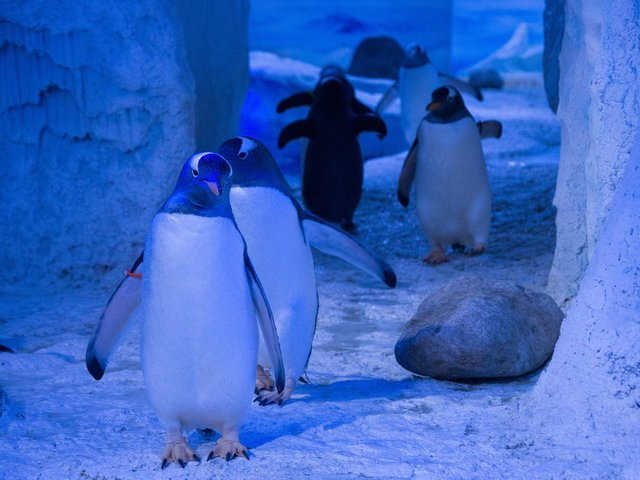 The penguins at Sea Life London Aquarium.