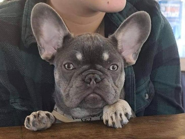 Lilac and tan French Bulldog Nelly who is missing from Longridge. Her owners were sent ransom demands by text message saying they had Nelly and would harm her if the ransom wasn't paid.